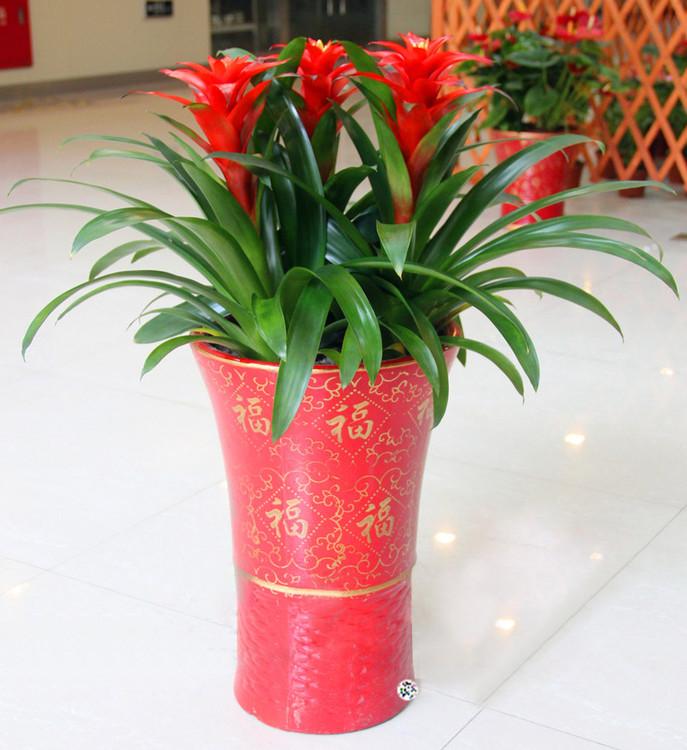深圳-大红色凤梨--...